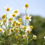 Culinary Herbs: How to Make Dried Chamomile