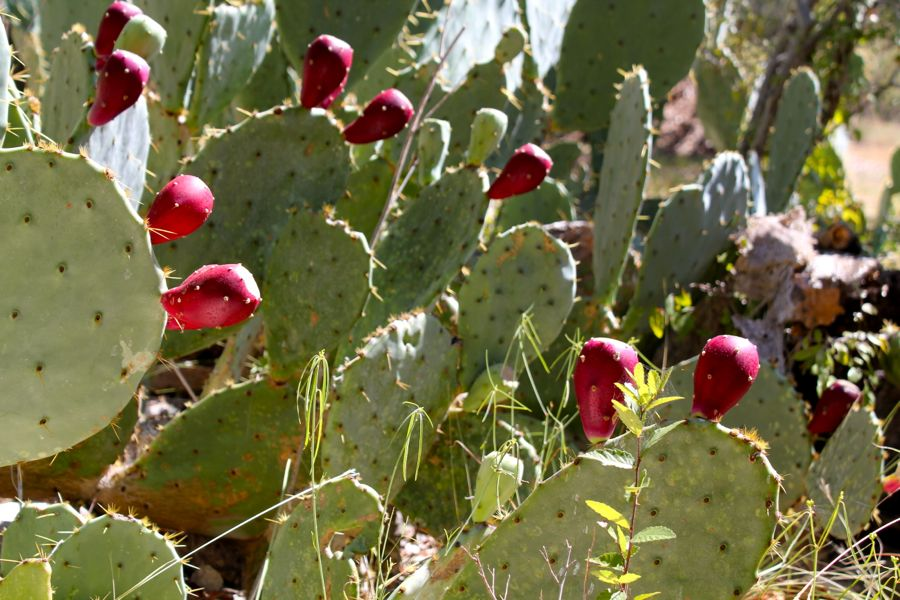 PricklyPear_1_9.10.2012.jpg - photo#47
